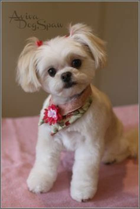 groom hair sty cute shih tzu puppy haircuts www pixshark com images