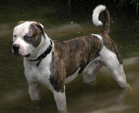 american bulldog dog   water photo  wallpaper