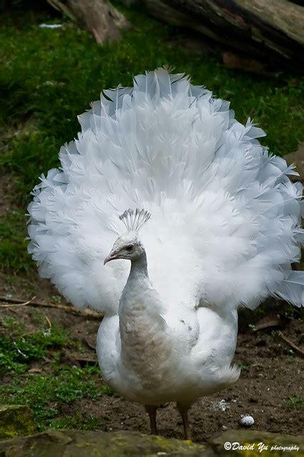 white peacock white peacock david yu flickr