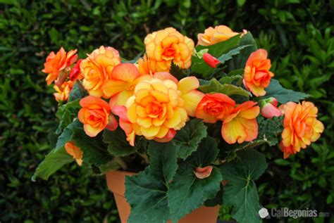 plant guide beautiful begonias bees  roses