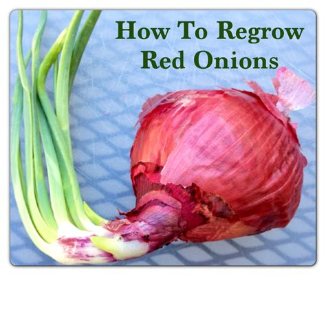 red onions how to regrow red onions and plant onion sets