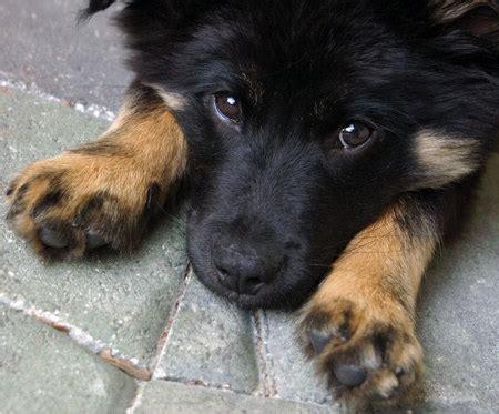 german shepherd border collie mix puppies german shepherd border collie mix dogable