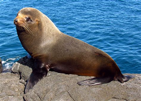 the sea l gal 225 pagos fur seal