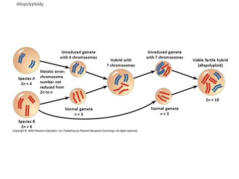 2n 6 meiosis diagram 2n 6 chromosomes pictures to pin on pinsdaddy