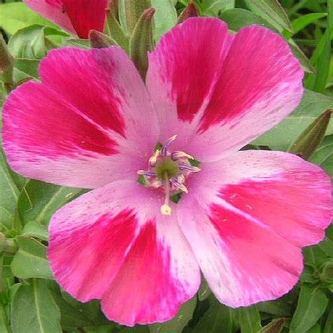 godetia f 1 flower faizan farms the best plants nursery in lahore
