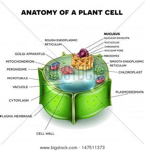 cross section of an plant cell cells images stock photos illustrations bigstock