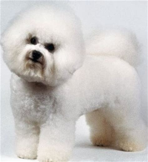 Haired Dogs That Don T Shed by Breeds Alphabetical Orderall Small Breed List A To
