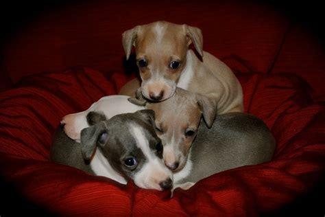 mini greyhound puppies pin by liz vacanti on italian greyhounds