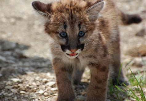 Karet Elastis Baby Panther 100 Yard we re not mountain about these facts the national wildlife federation