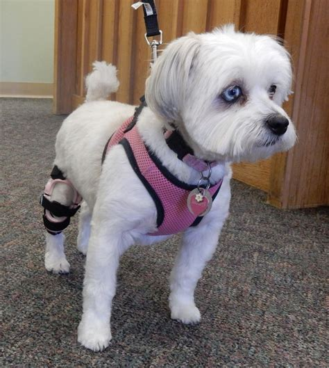 17 best images about knee braces for dogs on pinterest