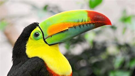 birds with colorful beaks wallpaper 1920x1080 toucan tropical bird beak