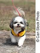 can a shih tzu walk 3 shih tzu stock photo images 2 004 shih tzu royalty free pictures and photos available