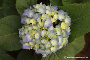 purple hortensia flower picture flower pictures 5134