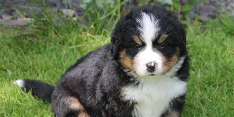 Mts White Pages Lookup Bernese Mountain Puppy