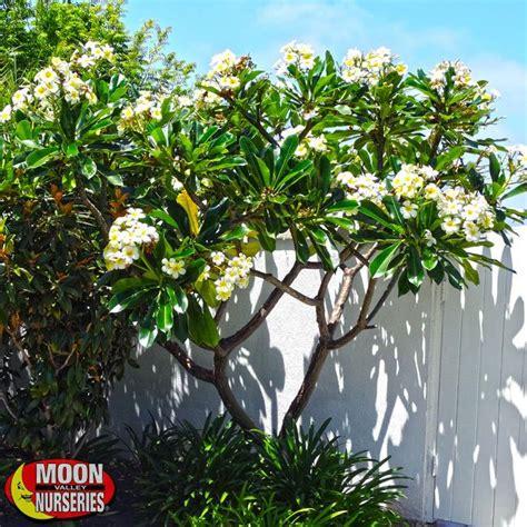 25 best ideas about plumeria tree on pinterest plumeria - Plumeria Tree Florida