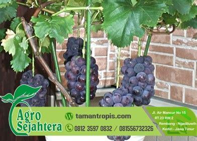 Bibit Anggur Hitam jual bibit anggur merah hitam