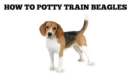 how to toilet a quickly potty a beagle puppy motavera
