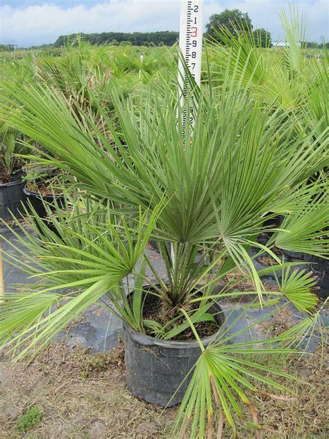 european mediterranean fan palm call