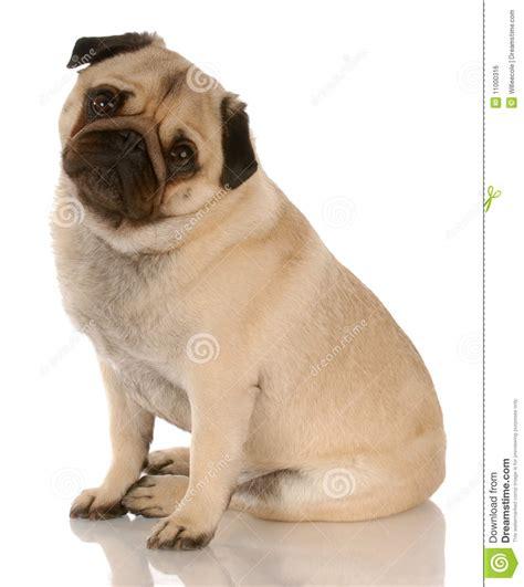 pug sitting pug sitting royalty free stock image image 11000316