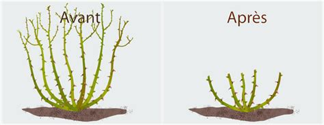 Comment Tailler Rosier Buisson by Tailler Un Rosier Jardinage