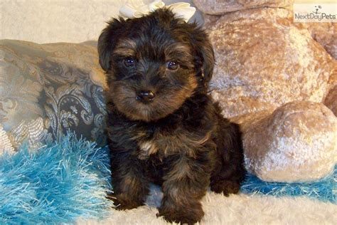 yorkie poo puppies for sale nc yorkiepoo yorkie poo puppies for sale from reputable motorcycle review and galleries