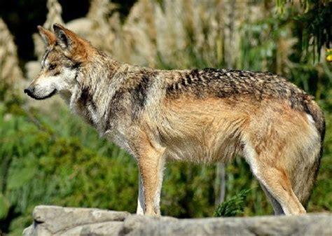 191 que come el lobo mexicano 191 de que se alimenta