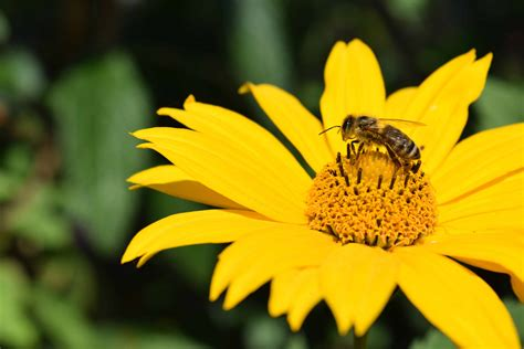 picture nature insect summer wildflower honeybee