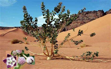 Galerry sahara desert plants