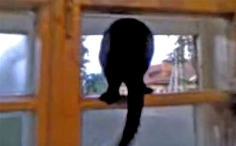 cat barking like a cat barks like a then meows when of animals