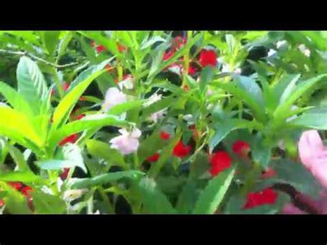 imagenes de flores juanitas plantas de flores belenes blancos naranjas y rosas youtube