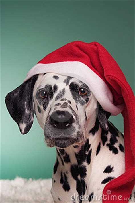 christmas dalmatian royalty  stock photo image