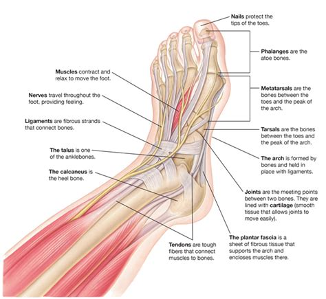 sections of the foot parts of a foot