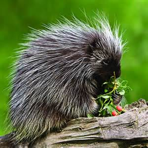 Most Common Garden Pests - porcupine catseye pest control