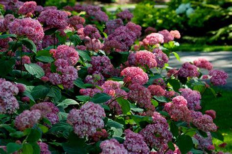 flowering shrubs for new hydrangea