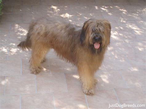 Low Shedding Large Breeds by List Of Low Shedding Dogs Breeds Picture