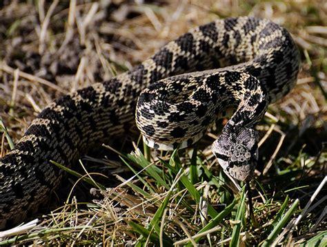 Garden Snake Oregon A Pacific Gopher Snake Near Eastern Oregon S Deschutes