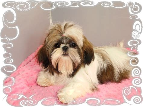 shih tzu soft learn more about the pomeranian shih tzu mix soft and fluffy breeds picture