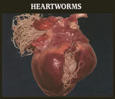 how to tell if your has heartworms heartworm disease heartworm prevention heartworm in dogs and cats auglaize county