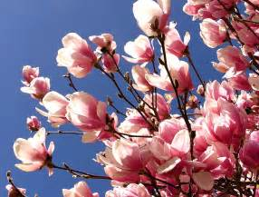 magnolia flower facts garden guides