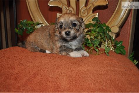 havanese puppies for sale in oregon none havanese puppy for sale near portland oregon cb3dfc0c 9c41