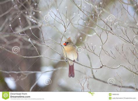beautiful northern cardinal sitting in bare dogwood tree cardinal sitting in bare tree royalty free stock photo image 18682455