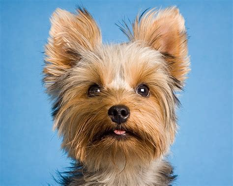 new yorkie new yorkie sam teacup terrier 10 months piotr organa flickr