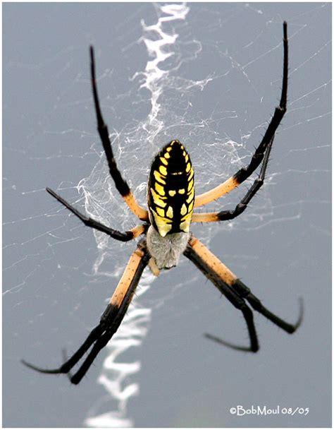 Garden Spider Pictures Black And Yellow Garden Spider Photo Bob Moul Photos At