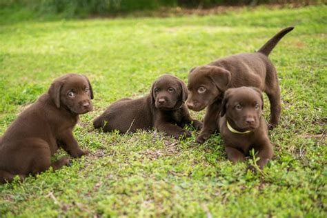 how before puppies open puppy socialization starts with the breeder 2nd in a
