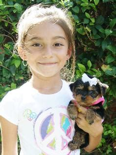 teacup yorkie puppies for sale in houston teacup yorkie puppies for sale in houston parti yorkies white