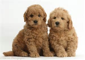 doodle doodle puppies dogs f1b goldendoodle puppies photo wp37273