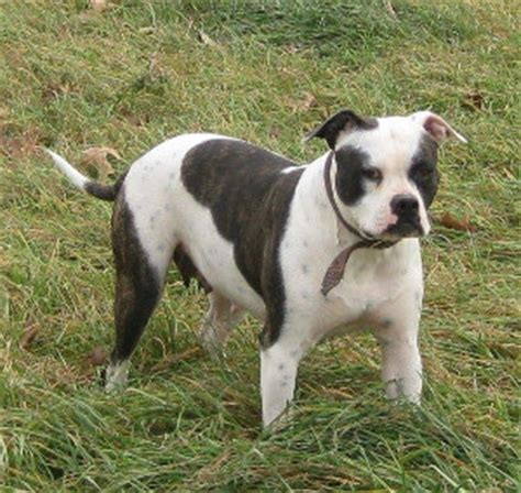 american bulldog puppies for sale in pa american bulldog puppies for sale in pa forest ridge kennel