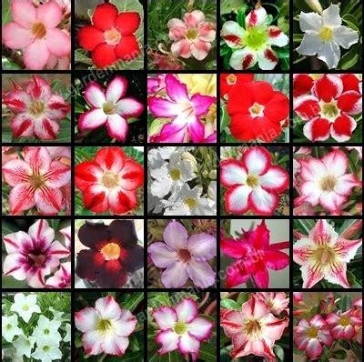Benih Bibit Bunga Adenium 0162 bibit bunga benih adenium mix lazada indonesia