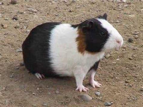 imagenes de animales nativos del peru animales dom 233 sticos del per 250 prehisp 225 nico youtube