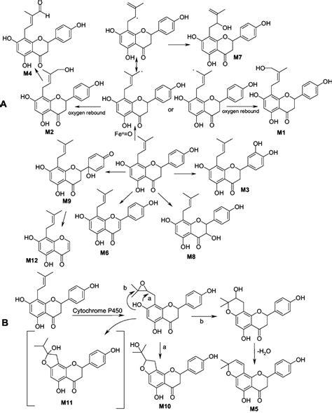 8 prenylnaringenin supplement metabolism of 8 prenylnaringenin a potent phytoestrogen